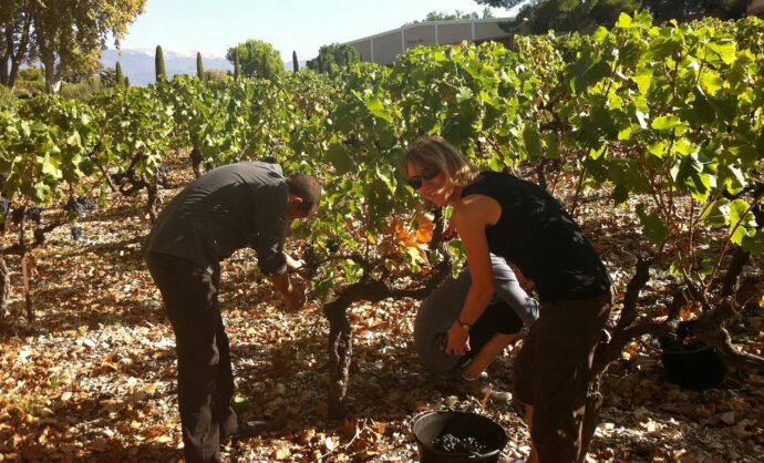Attend grape harvest in Provence